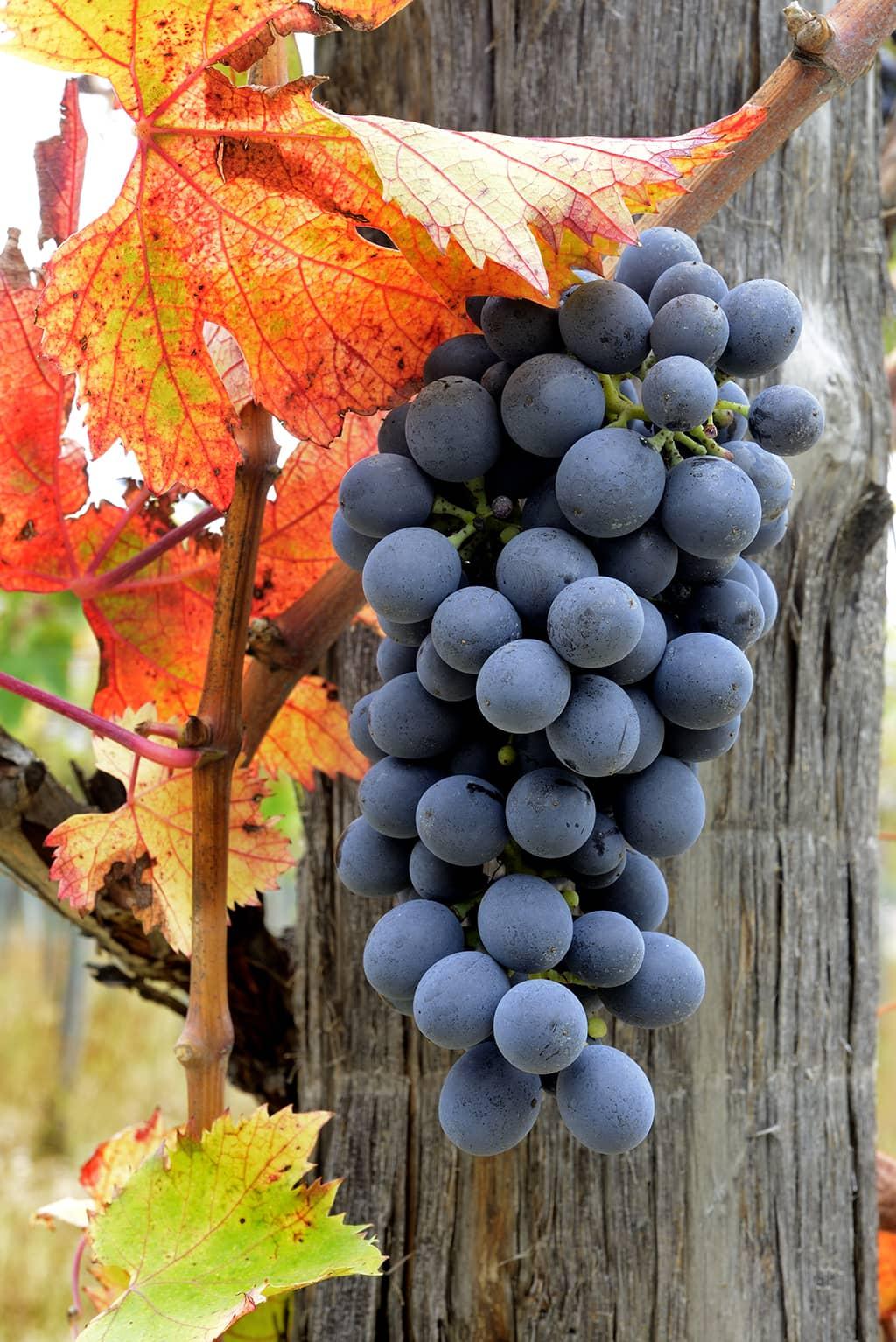 Grapes (Consorzio Tutela Vini d'Abruzzo)