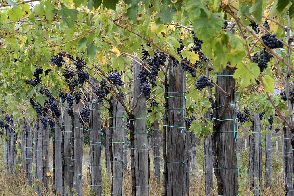 Vineyard (Consorzio Tutela Vini d'Abruzzo)