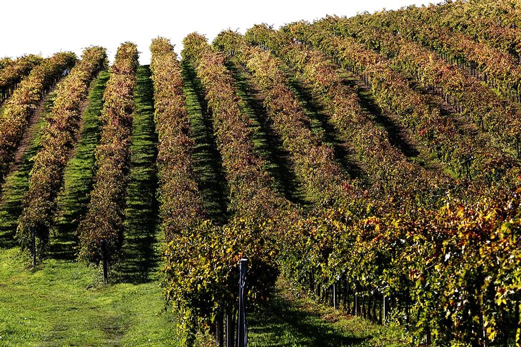 Vineyard (Consorzio di Tutela Vini d'Abruzzo)