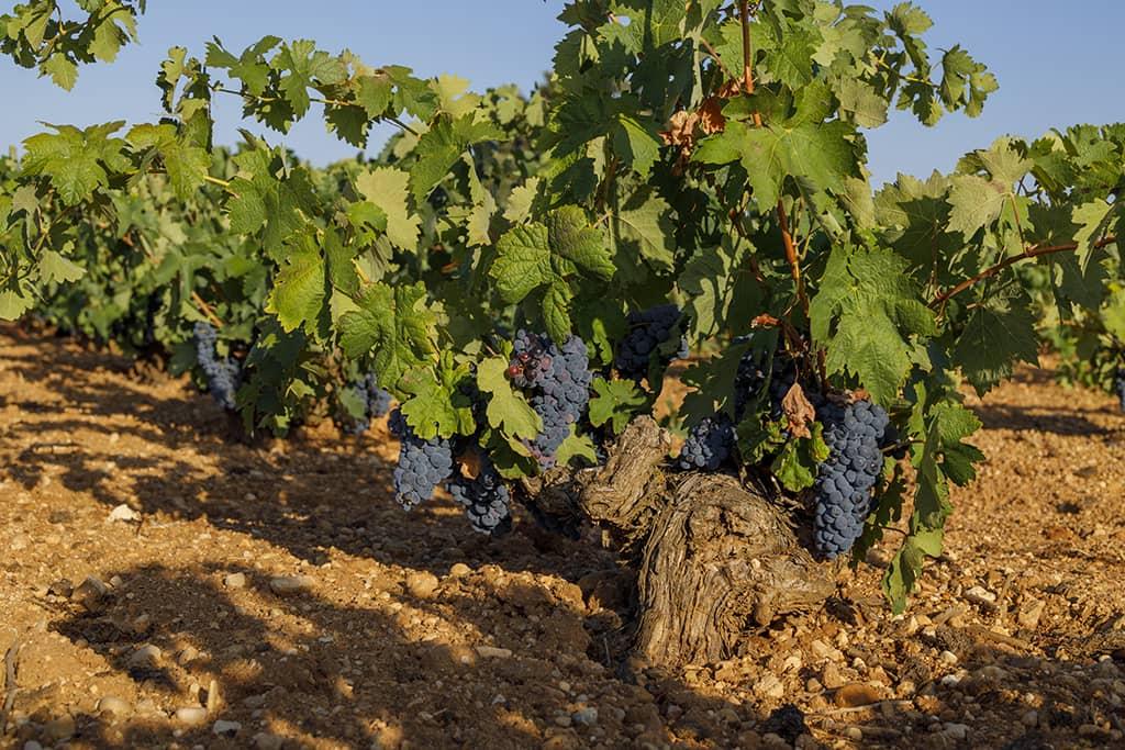 Tempranillo Vineyard (La Mancha)