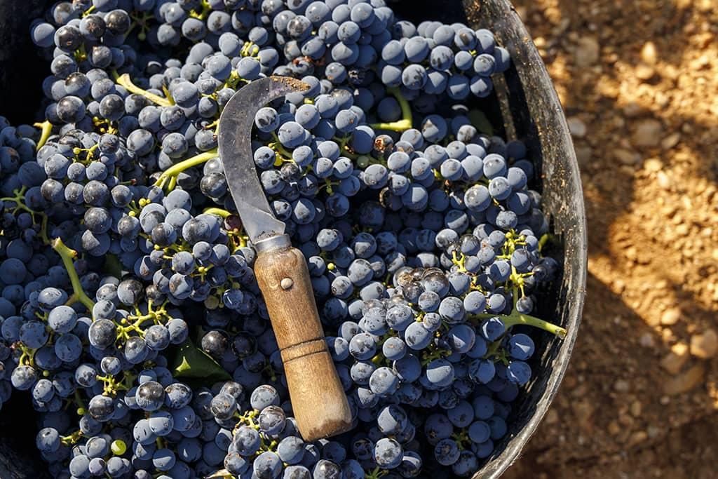 Harvest (D.O. La Mancha)