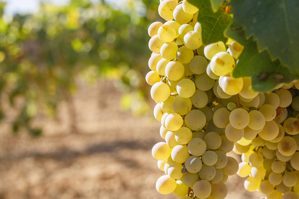 Airen grapes (D.O. La Mancha)