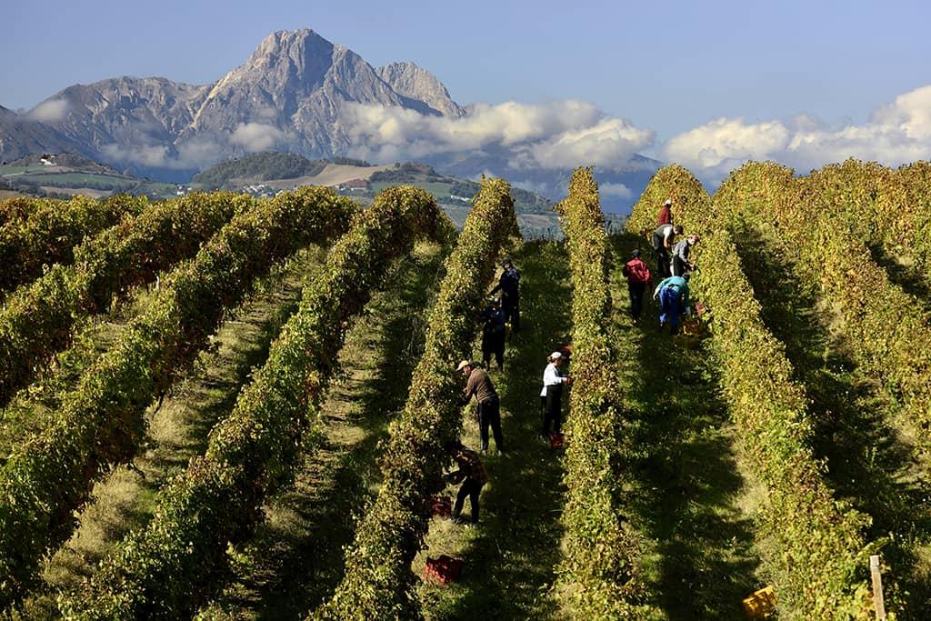 Harvest (Consorzio Tutela Vini d'Abruzzo)