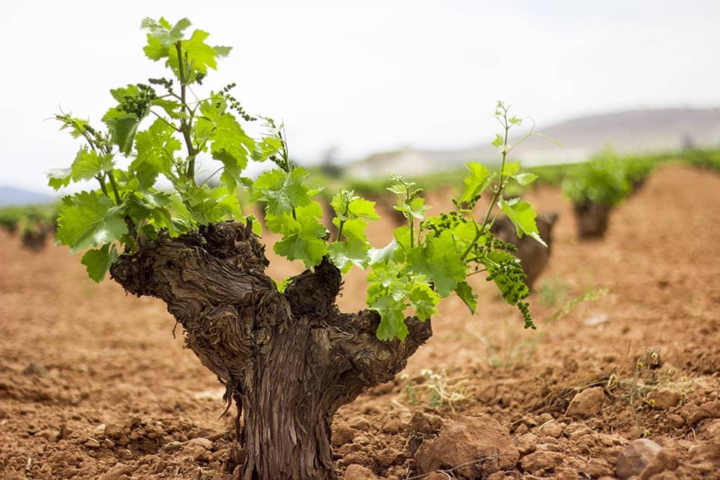 Vineyard DO La Mancha