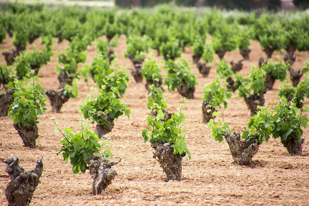 Vineyard (DO La Mancha)