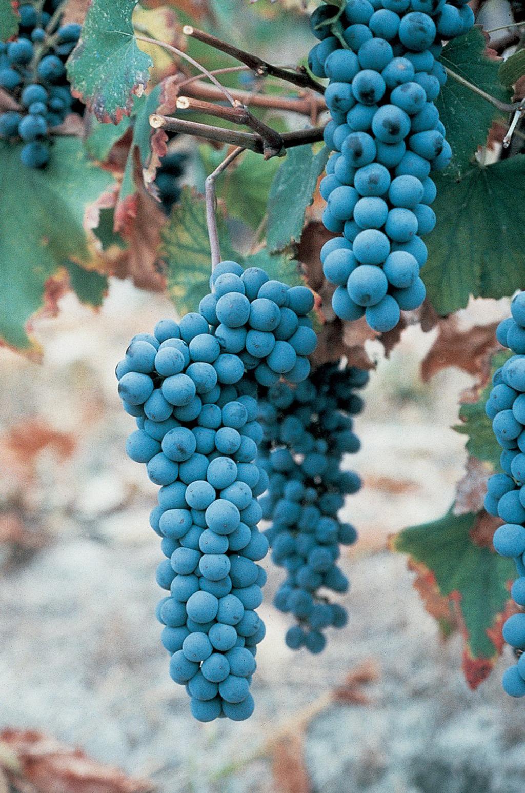 Grapes (Consorzio Barbera d'Asti e Vini del Monferrato)