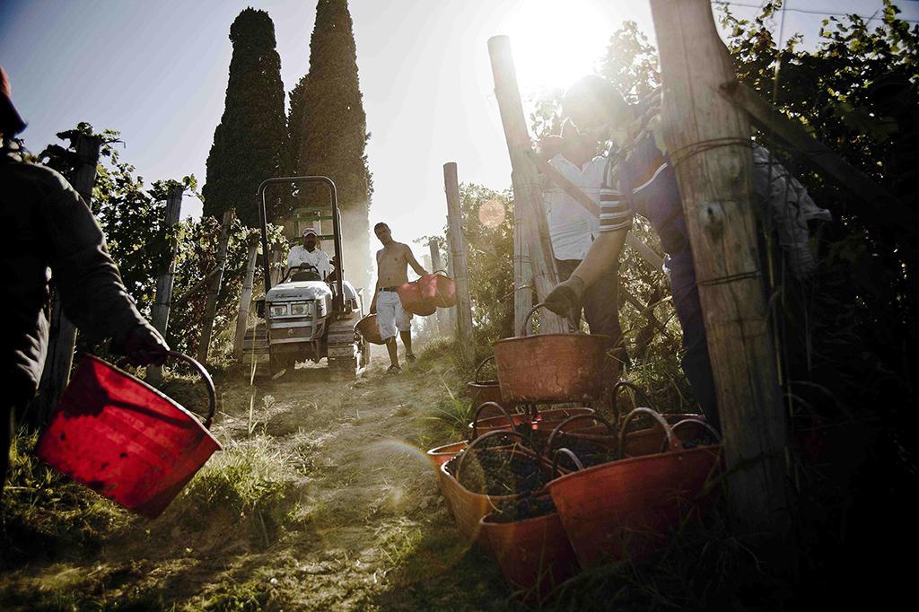 Harvest (Consorzio Barbera d'Asti e Vini del Monferrato)