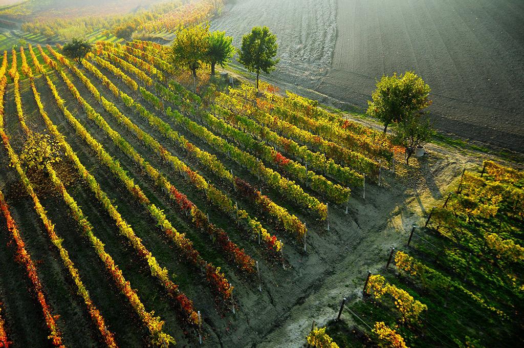 Vineyard (Consorzio Barbera d'Asti e Vini del Monferrato)